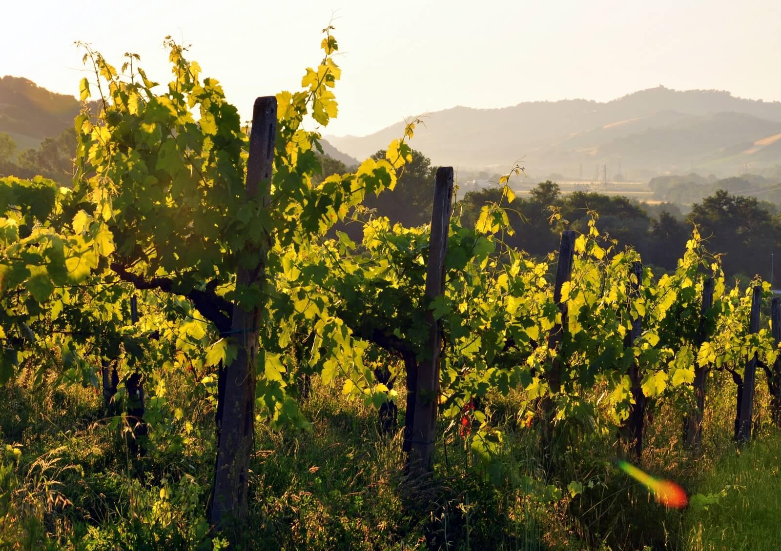 Винный тур в Асколи Пичено (фото)