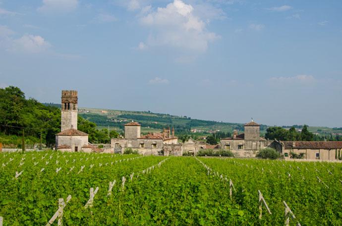 Тур с дегустацией вин Италии (фото виноградника)
