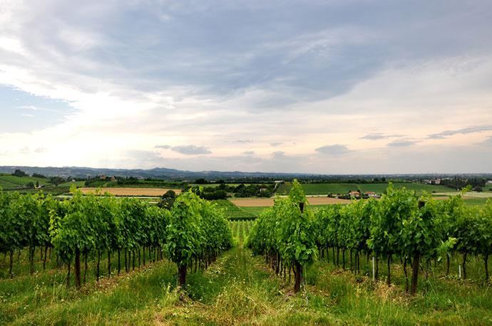 Дегустационный тур (Эмилия-Романья), Фото виноградника