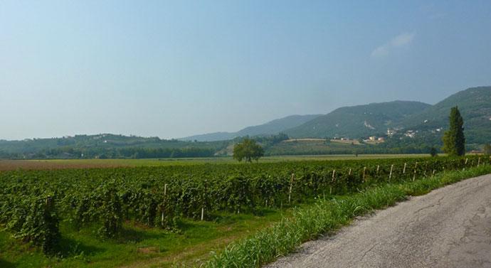Винные туры (Виченца). Фото виноградников