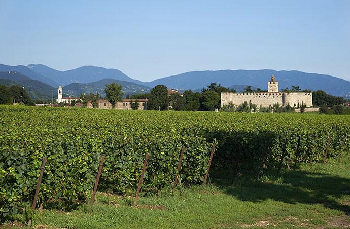 Винные туры (Падуя). Фото виноградников