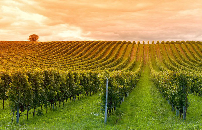 Дегустация вин (Брешиа). Фото виноградников